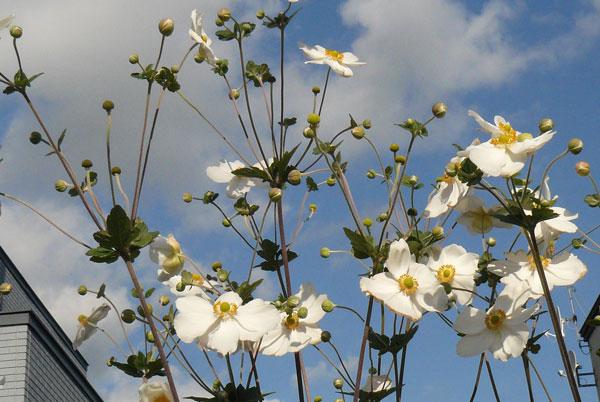 秋明菊とホトトギソウ_d0162994_9313016.jpg