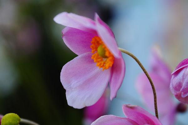 秋明菊とホトトギソウ_d0162994_9564844.jpg