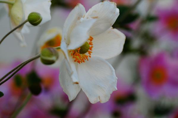 秋明菊とホトトギソウ_d0162994_9571729.jpg