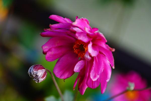 秋明菊とホトトギソウ_d0162994_957572.jpg