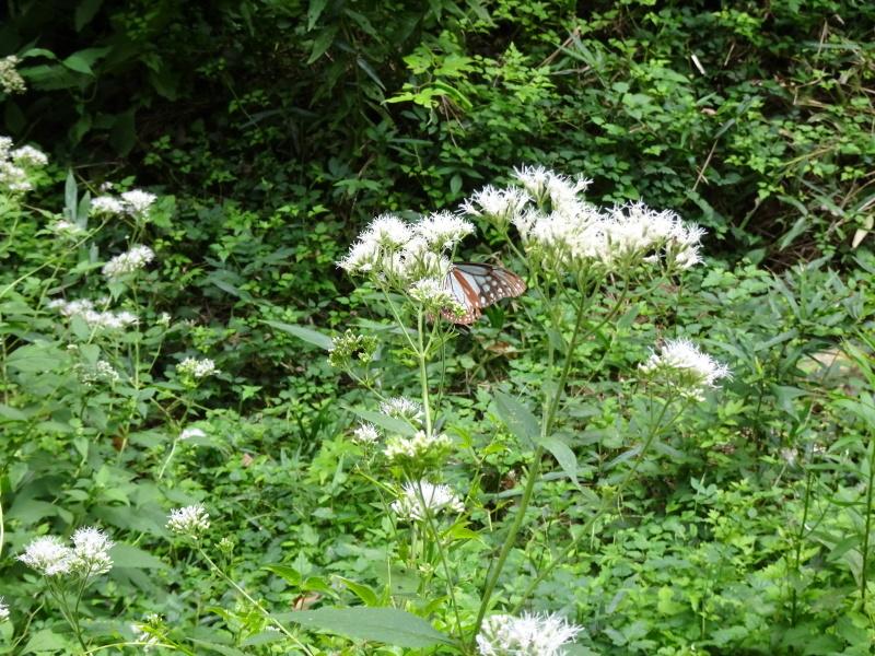 今日もアサギマダラはやって来た・・・孝子の森  by  (TATE-misaki)_c0108460_21560909.jpg
