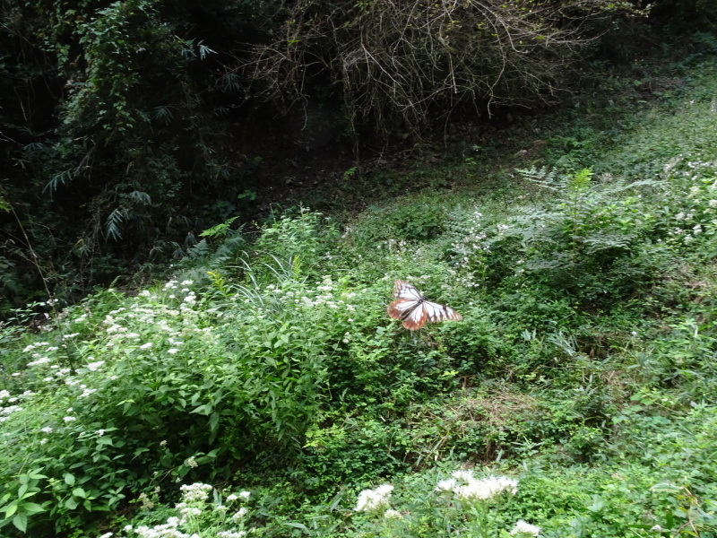 今日もアサギマダラはやって来た・・・孝子の森  by  (TATE-misaki)_c0108460_21561724.jpg