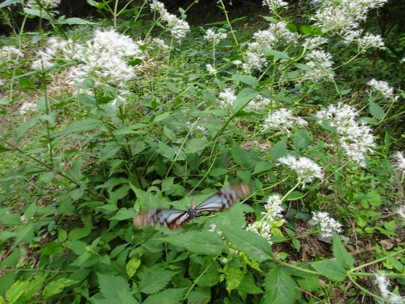 今日もアサギマダラはやって来た・・・孝子の森  by  (TATE-misaki)_c0108460_21562538.jpg
