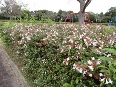 富浜緑地、ゴルフ場 10月の花やみどりの紹介_d0338682_14524734.jpg