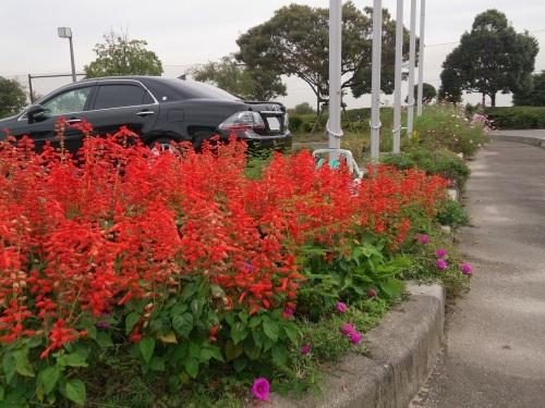 富浜緑地、ゴルフ場 10月の花やみどりの紹介_d0338682_15342908.jpg