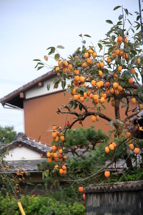 柿のなるころ_c0177785_16182797.jpg