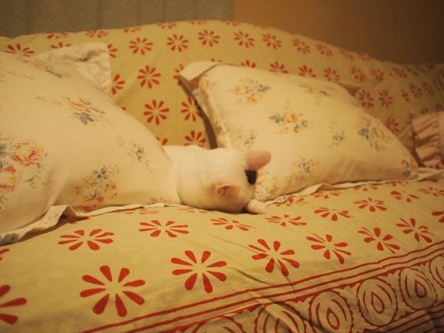 寝相七変化を眺める、飼い主バカのトコちゃん日記_b0292900_21125938.jpg