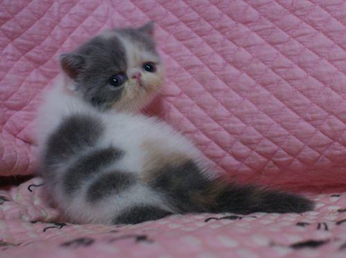 エキゾ赤ちゃん 9月12日生まれ にっちゃん子猫 ダイリュートキャリコAちゃん_e0033609_18400172.jpg