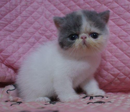 エキゾ赤ちゃん 9月12日生まれ にっちゃん子猫 ダイリュートキャリコAちゃん_e0033609_18402847.jpg