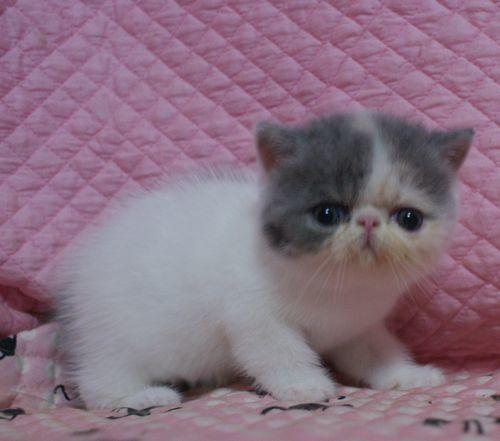 エキゾ赤ちゃん 9月12日生まれ にっちゃん子猫 ダイリュートキャリコAちゃん_e0033609_18404259.jpg