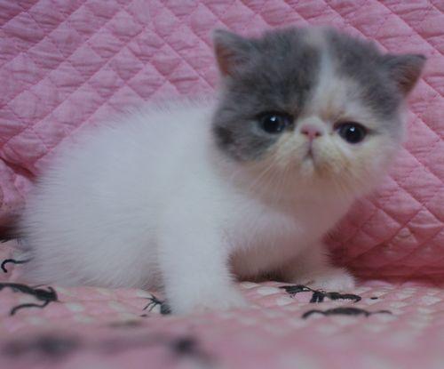 エキゾ赤ちゃん 9月12日生まれ にっちゃん子猫 ダイリュートキャリコAちゃん_e0033609_18405505.jpg
