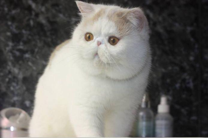 エキゾ赤ちゃん 9月12日生まれ にっちゃん子猫 ダイリュートキャリコAちゃん_e0033609_18431520.jpg