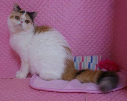 エキゾ赤ちゃん 9月12日生まれ にっちゃん子猫 ダイリュートキャリコAちゃん_e0033609_18433794.jpg