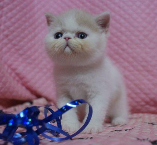 エキゾ赤ちゃん 9月12日生まれ にっちゃん子猫 クリーム&ホワイト男の子 _e0033609_00052144.jpg