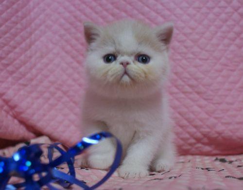 エキゾ赤ちゃん 9月12日生まれ にっちゃん子猫 クリーム&ホワイト男の子 _e0033609_00053993.jpg