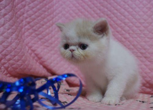 エキゾ赤ちゃん 9月12日生まれ にっちゃん子猫 クリーム&ホワイト男の子 _e0033609_00055220.jpg