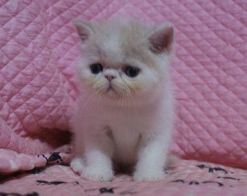 エキゾ赤ちゃん 9月12日生まれ にっちゃん子猫 クリーム&ホワイト男の子 _e0033609_00062470.jpg