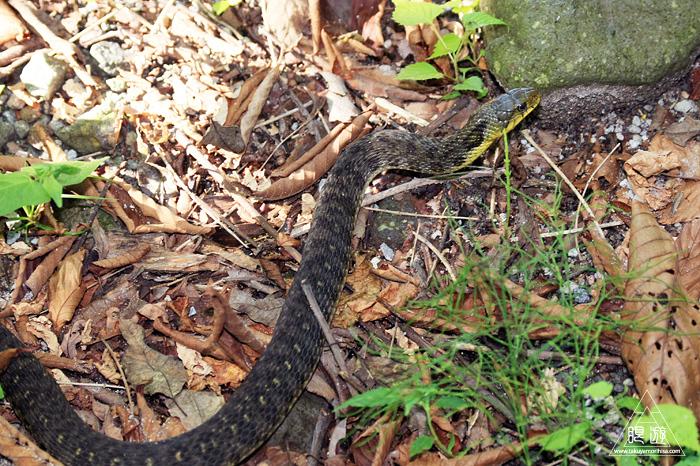 528 大山 ~大山で出会った蛇たち~_c0211532_01350806.jpg
