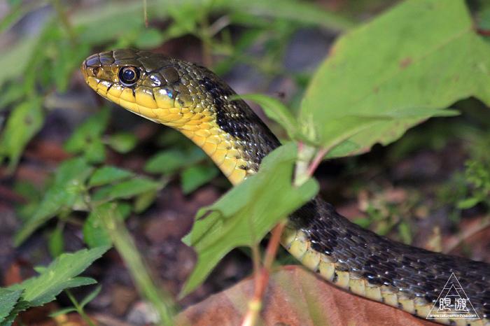 528 大山 ~大山で出会った蛇たち~_c0211532_01390176.jpg