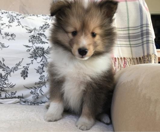 ピーチの子犬 55日 素敵な飼い主様が決まりました。_f0126965_09070277.jpg