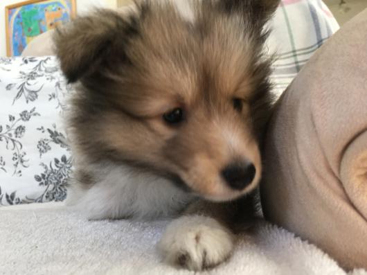 ピーチの子犬 55日 素敵な飼い主様が決まりました。_f0126965_09070421.jpg