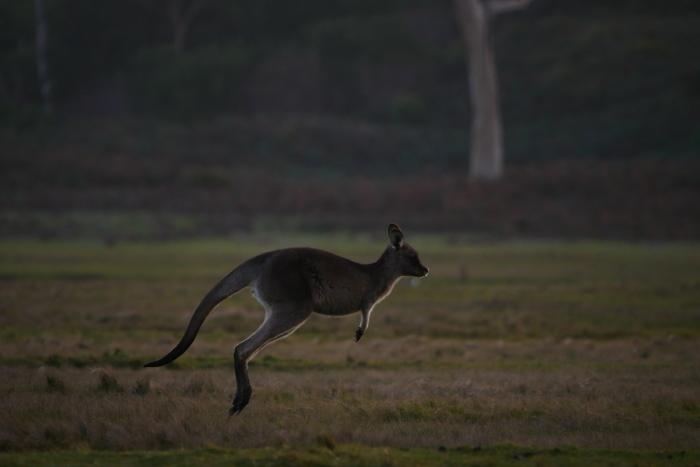 ワラビーズ Tasmania_f0050534_07012379.jpg