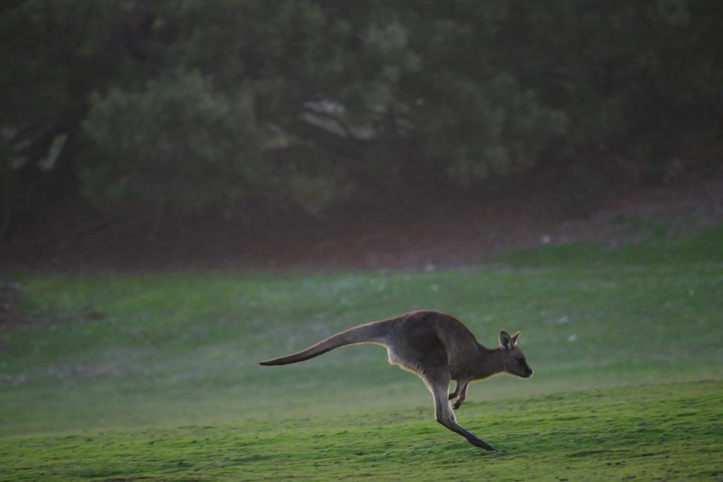 ワラビーズ Tasmania_f0050534_07060714.jpg