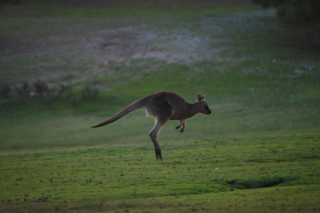 ワラビーズ Tasmania_f0050534_07061328.jpg