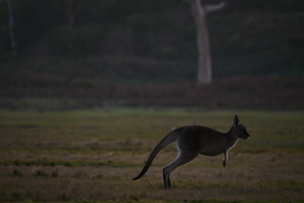 ワラビーズ Tasmania_f0050534_07061359.jpg