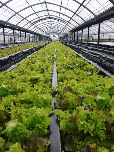 水耕栽培の朝採り新鮮野菜大好評発売中!無農薬栽培のフレッシュな生野菜を即日発送でお届けします!_a0254656_18264953.jpg