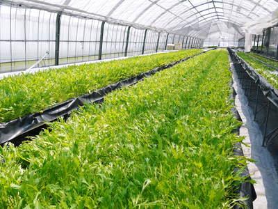 水耕栽培の朝採り新鮮野菜大好評発売中!無農薬栽培のフレッシュな生野菜を即日発送でお届けします!_a0254656_19325685.jpg