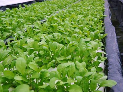 水耕栽培の朝採り新鮮野菜大好評発売中!無農薬栽培のフレッシュな生野菜を即日発送でお届けします!_a0254656_1952896.jpg