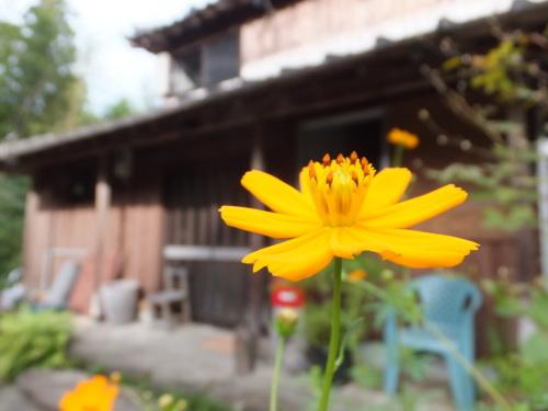 花の記録*キバナコスモス_d0336460_08440202.jpg