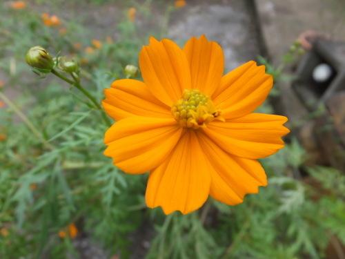 花の記録*キバナコスモス_d0336460_08510878.jpg