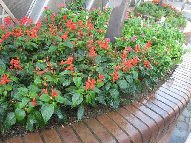 ガーデンふ頭総合案内所前花壇の植替えH28.10.19_d0338682_13011606.jpg