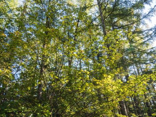 雪虫も舞う・・カンタベリーの木々の紅葉が始まりました!_f0276498_12311750.jpg