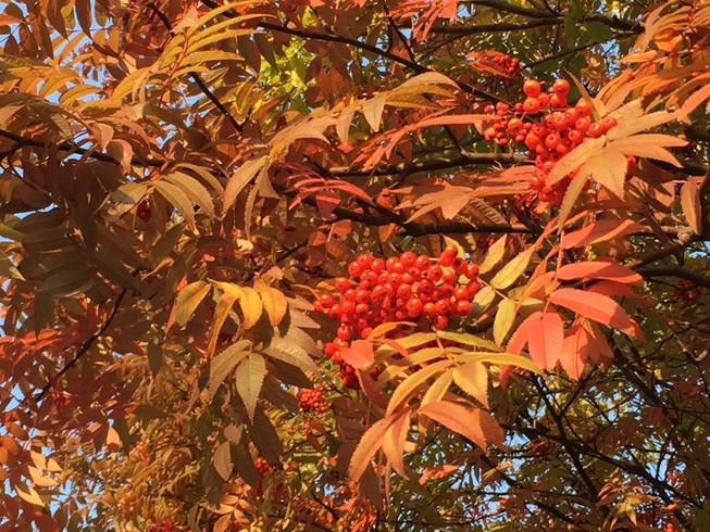 "2016年10月 『北海道大学、秋の異変』 October 2016 \""A Surprising Change in Hokkaido University\""_c0219616_12394475.jpg"