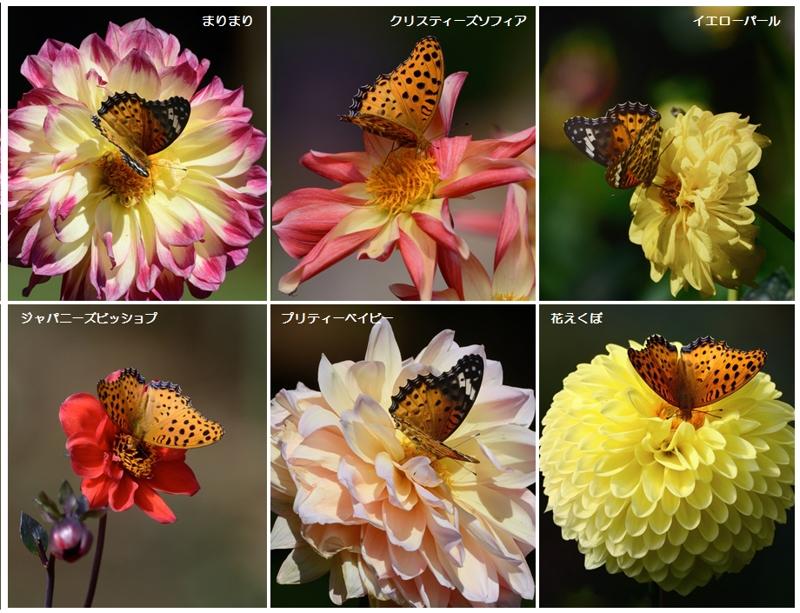 自宅近くの公園のダリアと蝶たち_a0204089_5444846.jpg