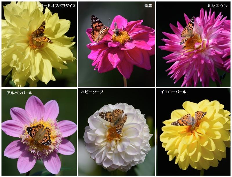 自宅近くの公園のダリアと蝶たち_a0204089_5445869.jpg