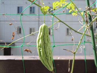 ゴーヤが収穫できました。_c0195909_1244498.jpg