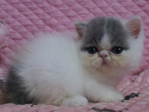 エキゾ赤ちゃん 9月12日生まれ にっちゃん子猫 ダイリュートキャリコBちゃん_e0033609_10505442.jpg