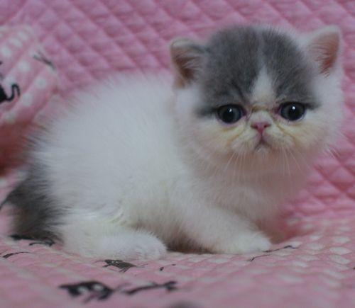 エキゾ赤ちゃん 9月12日生まれ にっちゃん子猫 ダイリュートキャリコBちゃん_e0033609_10510532.jpg