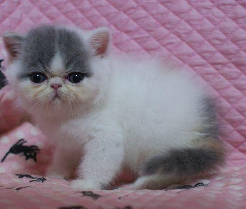 エキゾ赤ちゃん 9月12日生まれ にっちゃん子猫 ダイリュートキャリコBちゃん_e0033609_10511972.jpg