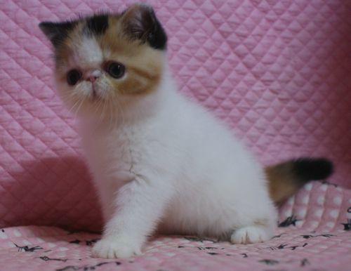 エキゾチックショートヘアー8月26日生まれ ボギコ赤ちゃん キャリコ女の子_e0033609_10552438.jpg