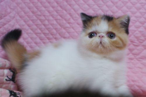 エキゾチックショートヘアー8月26日生まれ ボギコ赤ちゃん キャリコ女の子_e0033609_10553744.jpg