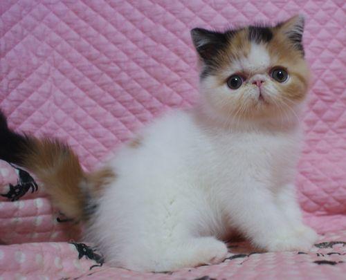 エキゾチックショートヘアー8月26日生まれ ボギコ赤ちゃん キャリコ女の子_e0033609_10554524.jpg