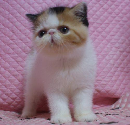 エキゾチックショートヘアー8月26日生まれ ボギコ赤ちゃん キャリコ女の子_e0033609_10560043.jpg