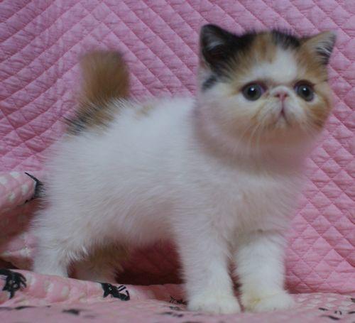 エキゾチックショートヘアー8月26日生まれ ボギコ赤ちゃん キャリコ女の子_e0033609_10561140.jpg