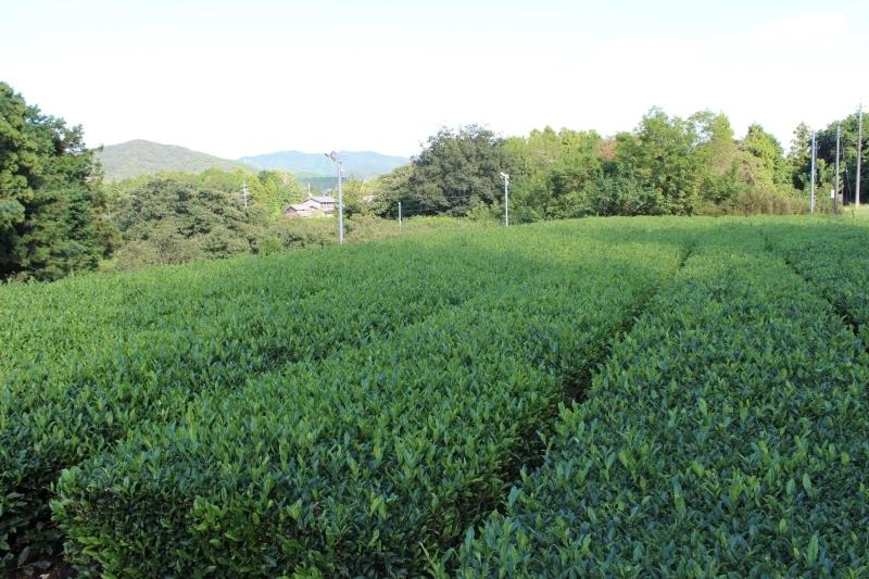 紅茶を追っかけて、新城_b0220318_05280871.jpg