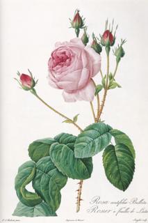 「バラ図譜」中最も優雅なバラ(?)、ロサ・ケンティフォリア・ブラータ(レタス・ローズ)_e0356356_11100736.jpg